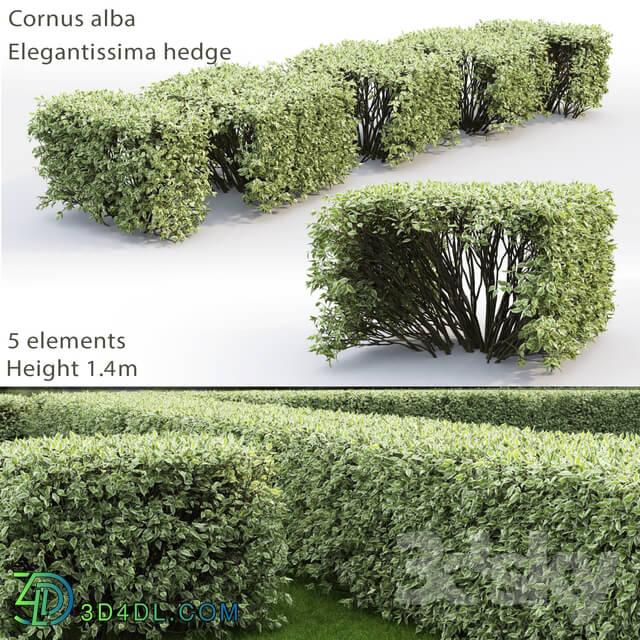 Bush - Derain white Elegantissima _ Cornus Alba Elegantissima hedge _ 3