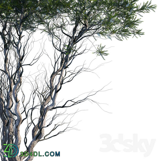 Tree - Melaleuca Lanceolata _ Black Paperbark _ Moonah _ 1