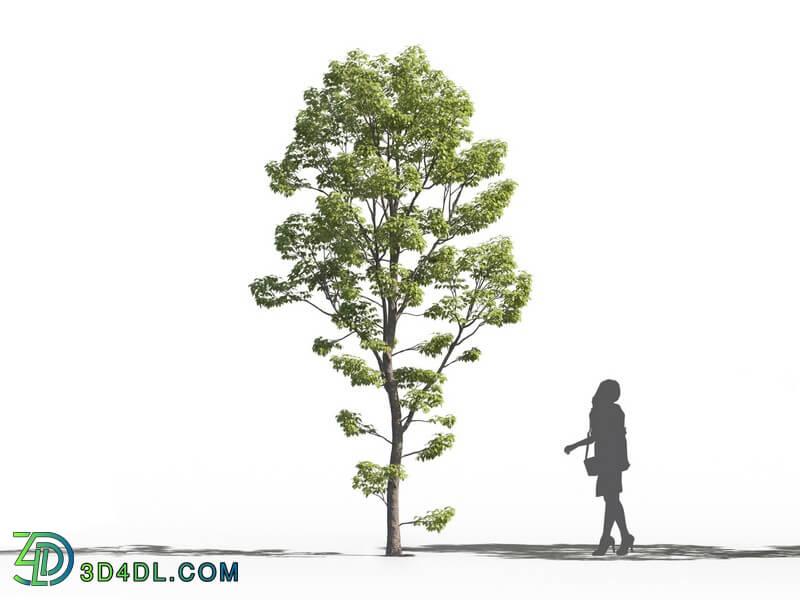 Maxtree-Plants Vol26 Acer negundo 01 01