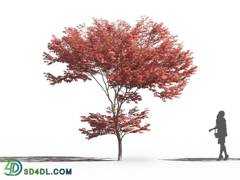 Maxtree-Plants Vol26 Acer palmatum 02 07