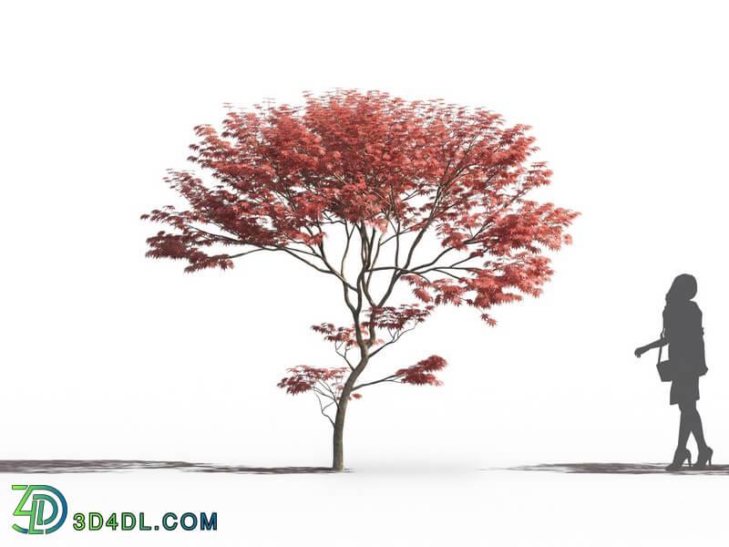 Maxtree-Plants Vol26 Acer palmatum 02 08