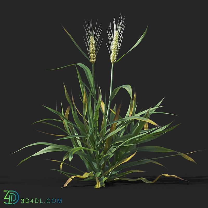 Maxtree-Plants Vol38 Triticum 01 02