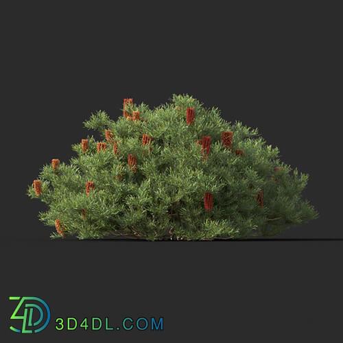 Maxtree-Plants Vol44 Banksia spinulosa 01 07