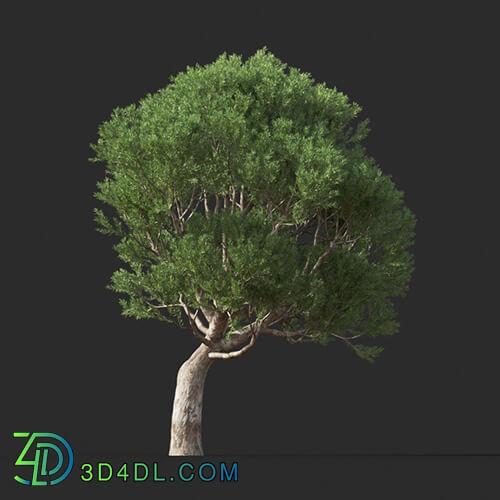 Maxtree-Plants Vol44 Melaleuca linariifolia 01 07
