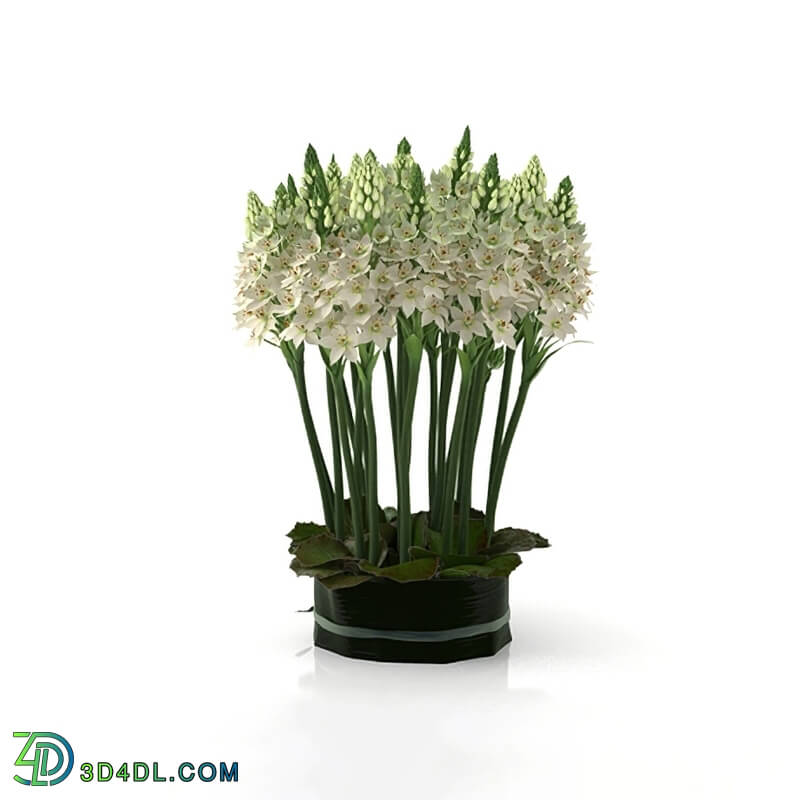 Design Connected Ornithogalums